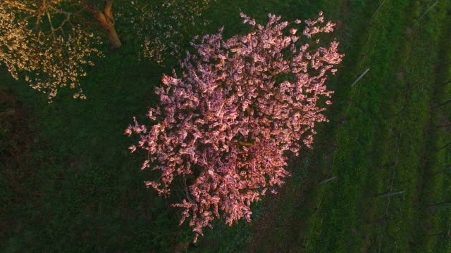 blooming almond trees in gimmeldingen, neustadt an der weinstraße, rhineland-palatinate, germany - almond stock videos & royalty-free footage