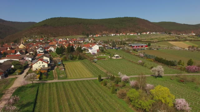 Blooming almond trees, Neustadt-Gimmeldingen, Weinstraße, Pfalz, Rhineland-Palatinate, Germany
