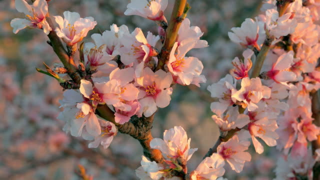 blooming almond trees - orchard stock videos & royalty-free footage