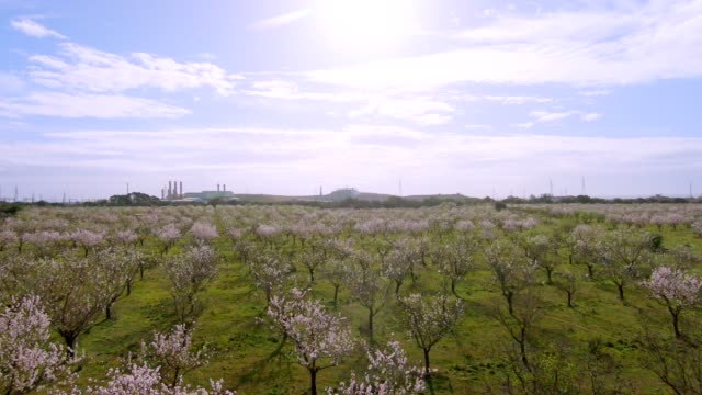 blooming almond trees - almond stock videos & royalty-free footage
