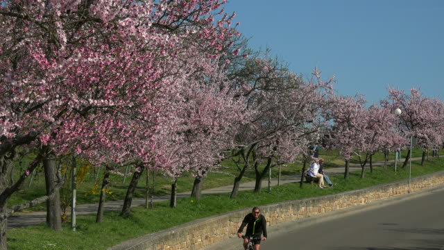 blooming almond tress, gimmeldingen, neustadt an der weinstraße, rhineland-palatinate, germany - almond tree stock videos & royalty-free footage