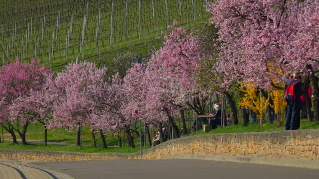 Blooming almond tress, Gimmeldingen, Neustadt an der Weinstraße, Rhineland-Palatinate, Germany