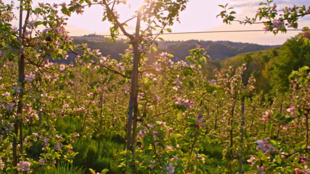 SLO MO Blooming apple orchard at sunrise