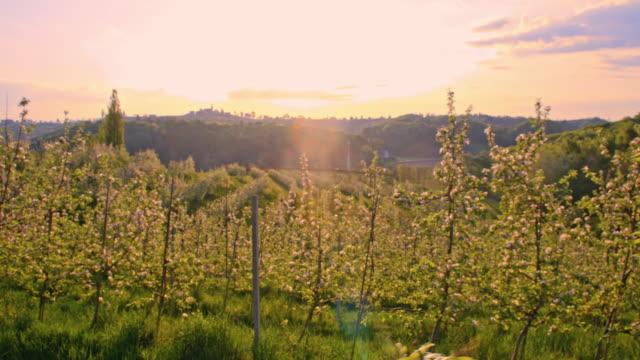 SLO MO Blooming apple tree orchard at dawn