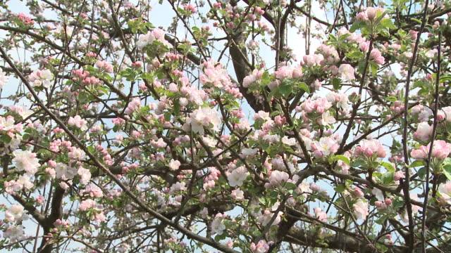 cu td la blooming apple tree, vrhnika, slovenia - vrhnika stock videos & royalty-free footage