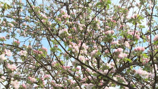 cu tu blooming apple tree, vrhnika, slovenia - vrhnika stock videos & royalty-free footage