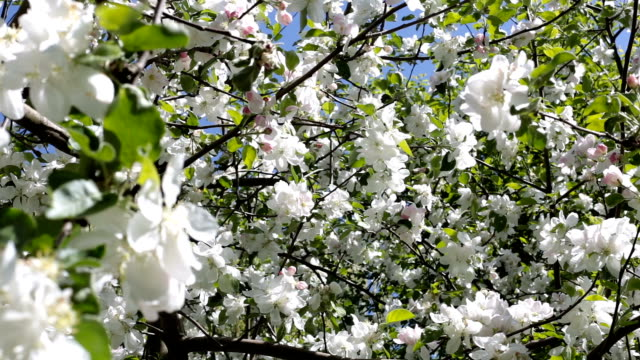 Blooming apple tree with big white flowers.