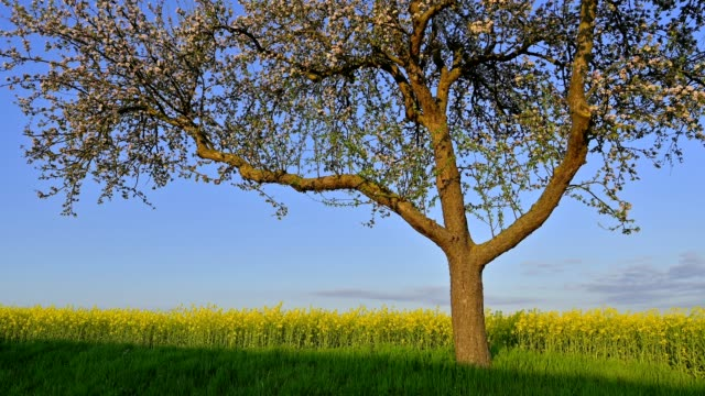 blooming apple tree with canola field in the spring - springtime stock videos & royalty-free footage