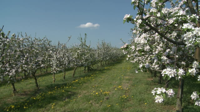 ws blooming apple trees in orchard / saarburg, rheinland-pfalz, germany - stationary process plate stock videos and b-roll footage