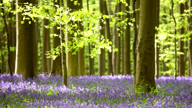 blooming bluebell forest of hallerbos in belgium - springtime stock videos & royalty-free footage