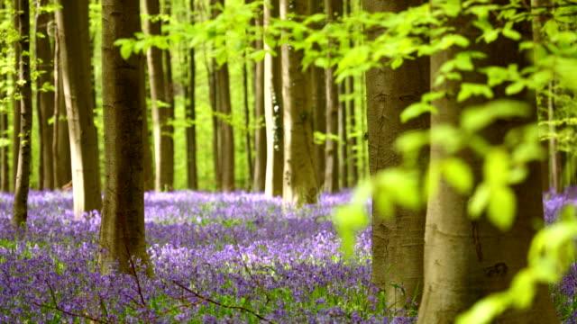 Blooming bluebell forest of Hallerbos in Belgium