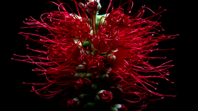 blooming bottlebrush flower - decay stock videos & royalty-free footage