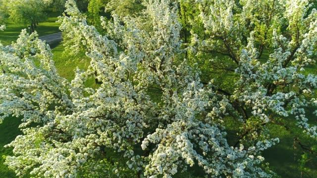 blooming branch of apple tree in spring. aerial view. - apple tree stock videos & royalty-free footage
