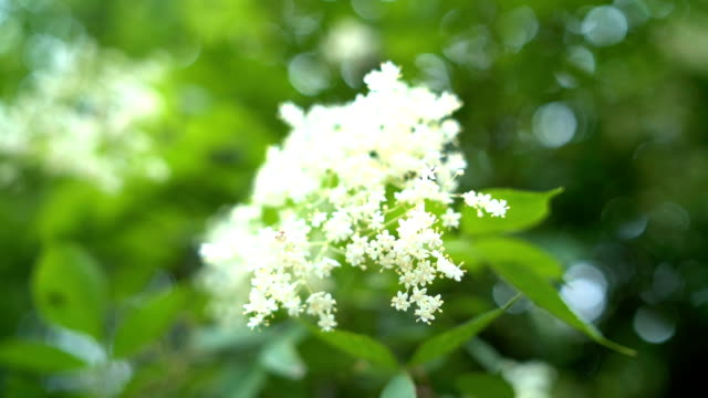 blooming branch swaying on the wind - herb stock videos & royalty-free footage