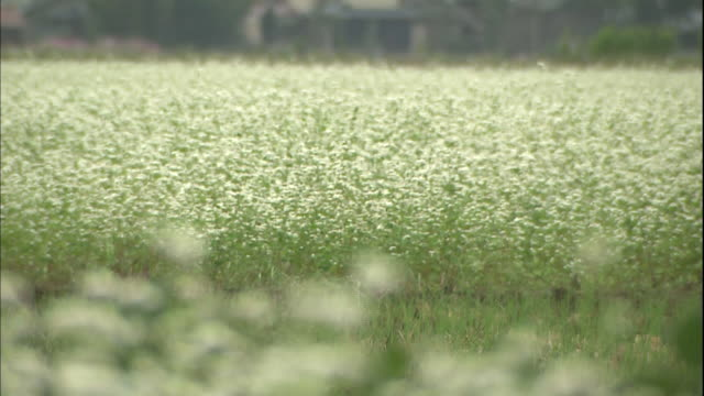 blooming buckwheat trembles in a breeze. - buckwheat stock videos & royalty-free footage