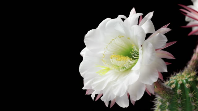 blooming cactus flower - 4k - single object stock videos & royalty-free footage