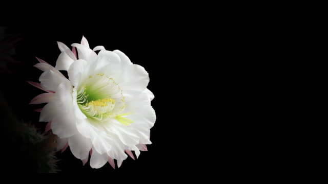 blooming cactus flower - 4 k - blumen stock-videos und b-roll-filmmaterial