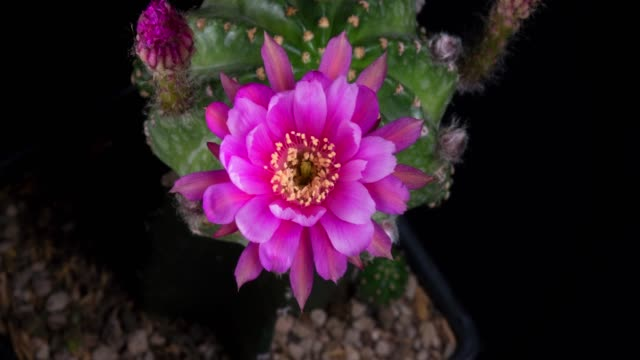 blooming cactus flower echinopsis eyriesii 4k - barrel cactus stock videos and b-roll footage