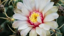 Blooming Cactus Flower Gymnocalycium Baldianum 4K T/L