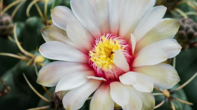 blooming cactus flower gymnocalycium baldianum 4k t/l - bouquet stock videos and b-roll footage