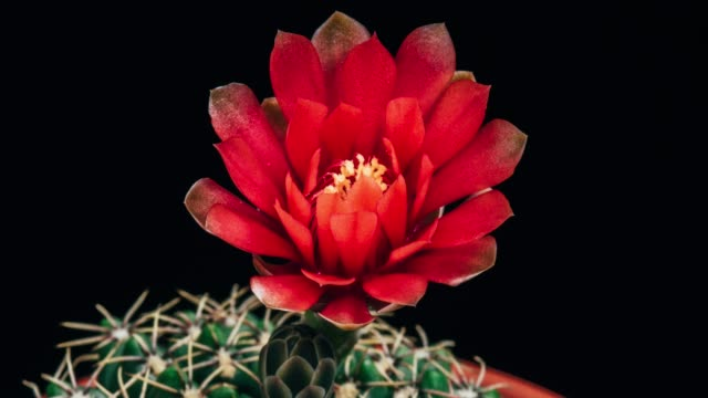 blooming cactus flower gymnocalycium baldianum 4k t/l - cactus stock videos and b-roll footage