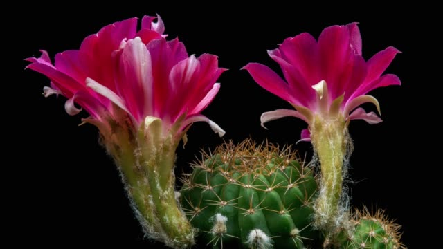 blooming cactus flower lobivia arachnacantha 4k - cactus stock videos and b-roll footage