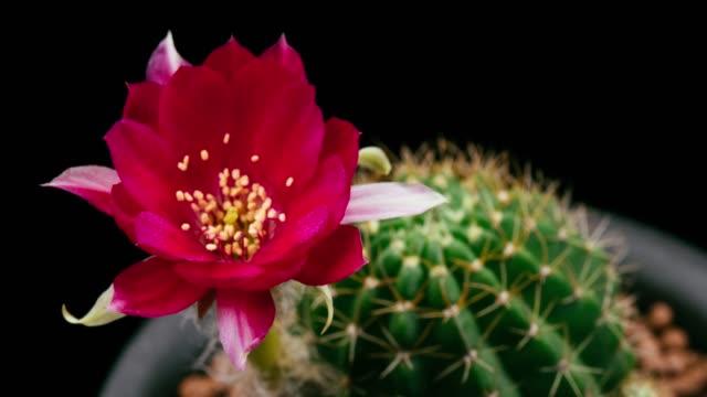 stockvideo's en b-roll-footage met bloeiende cactus flower lobivia hybride 4k t/l - vetplant
