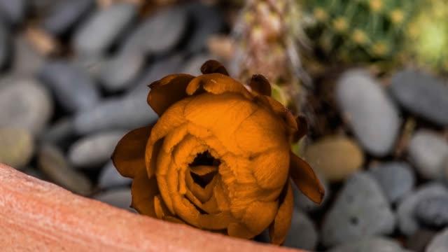 blooming cactus flower orange 4k - barrel cactus stock videos and b-roll footage