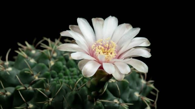 stockvideo's en b-roll-footage met bloeiende cactus bloem timelapse-gymnocalycium baldianum - kamerplant