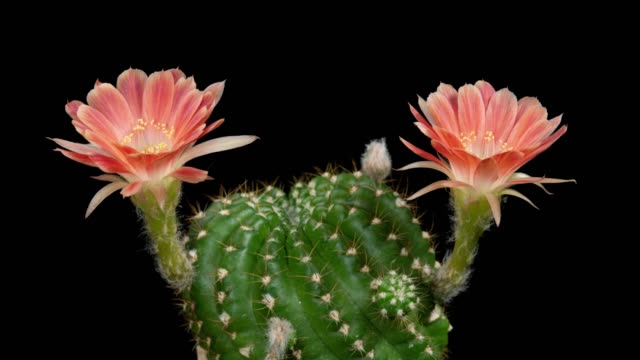 blooming cactus flower timelapse - houseplant stock videos and b-roll footage