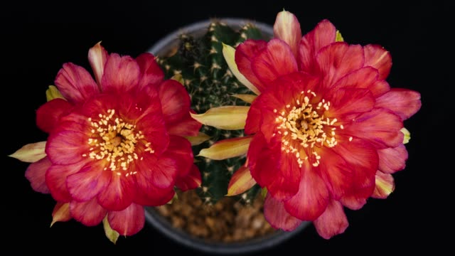blooming cactus flowers lobivia hybrid 4k t/l - houseplant stock videos and b-roll footage