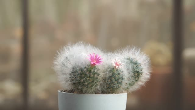 blooming cactus plant in pot - succulent stock videos & royalty-free footage