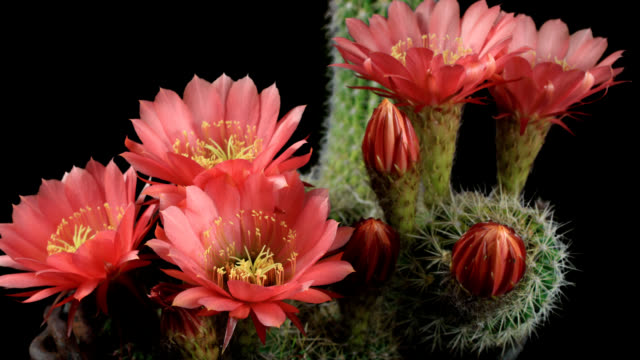 blooming cactus - flowering cactus stock videos & royalty-free footage