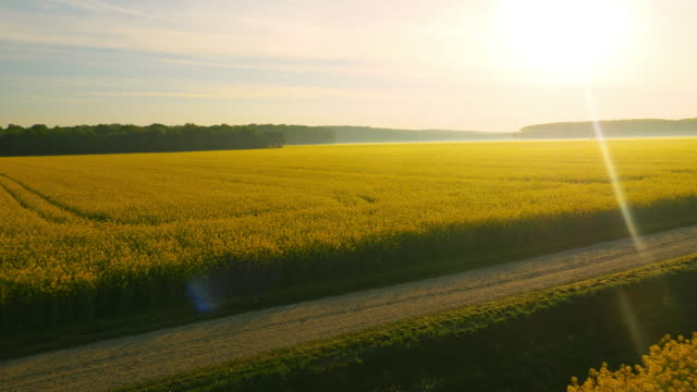 aerial blooming canola fields at sunset - canola stock videos and b-roll footage