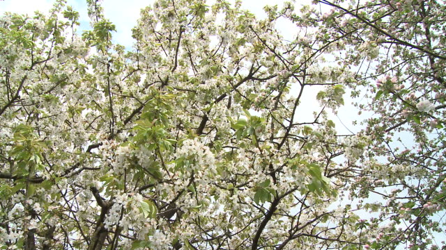 cu pan blooming cherry and apple trees, vrhnika, slovenia - vrhnika stock videos and b-roll footage