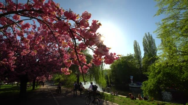 blühender kirschbaum blumen in berlin - park stock-videos und b-roll-filmmaterial