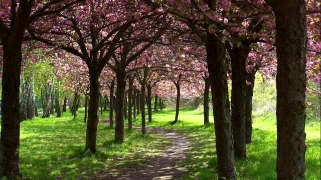 blooming cherry tree flowers - footpath stock videos & royalty-free footage