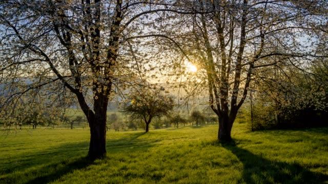 vídeos y material grabado en eventos de stock de blooming cherry tree in spring at sunrise. - árbol de hoja caduca