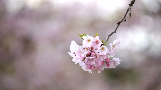 blooming cherry tree, spring, branches moving in wind