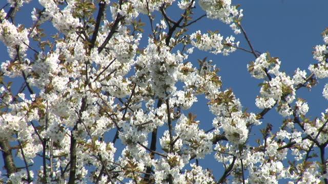 HD: Blooming cherry tree
