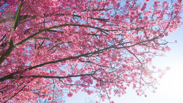 blooming cherry tree - great white cherry stock videos & royalty-free footage