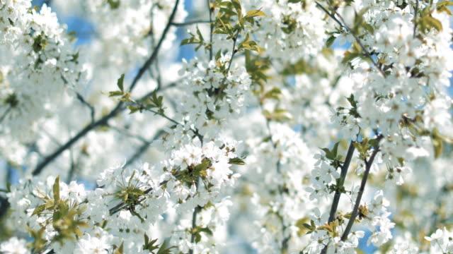 Blooming Cherry Tree
