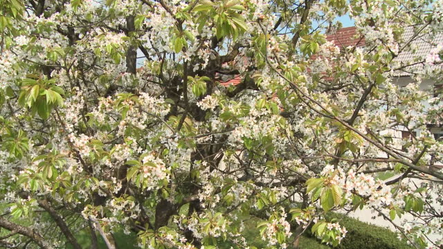 cu pan la blooming cherry tree, vrhnika, slovenia - vrhnika stock videos and b-roll footage