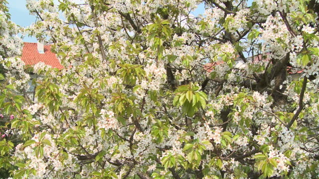 cu pan blooming cherry tree, vrhnika, slovenia - vrhnika stock videos and b-roll footage