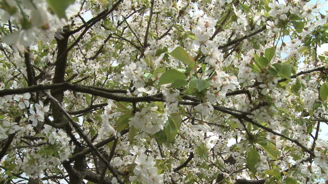 cu tu blooming cherry tree, vrhnika, slovenia - vrhnika stock videos and b-roll footage