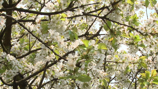 cu la pan blooming cherry tree, vrhnika, slovenia - vrhnika stock videos and b-roll footage