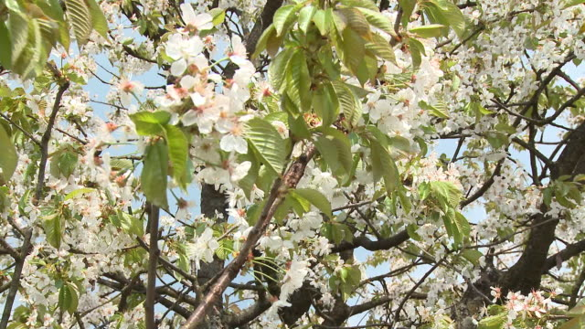 cu tu td blooming cherry tree, vrhnika, slovenia - vrhnika stock videos and b-roll footage