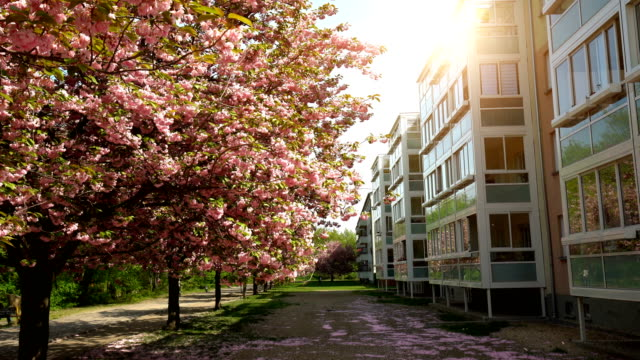 blooming cherry trees in berlin - blossom stock videos & royalty-free footage