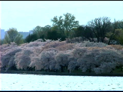 blooming cherry trees near river - laubbaum stock-videos und b-roll-filmmaterial
