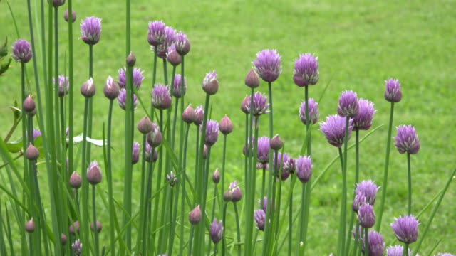 blooming chive plant - chive stock videos & royalty-free footage